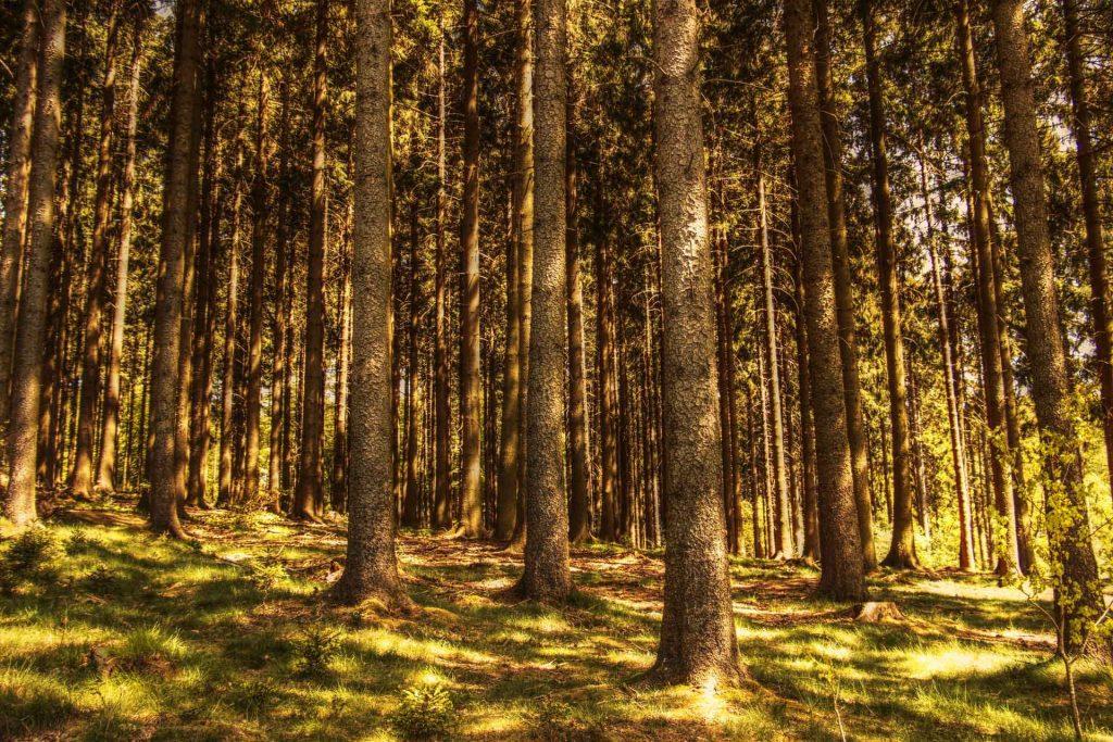 ağaç çam ormanı